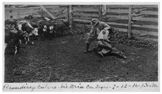 Branding calves, Victoria County, TX.  1916.  Photograph by J. D.